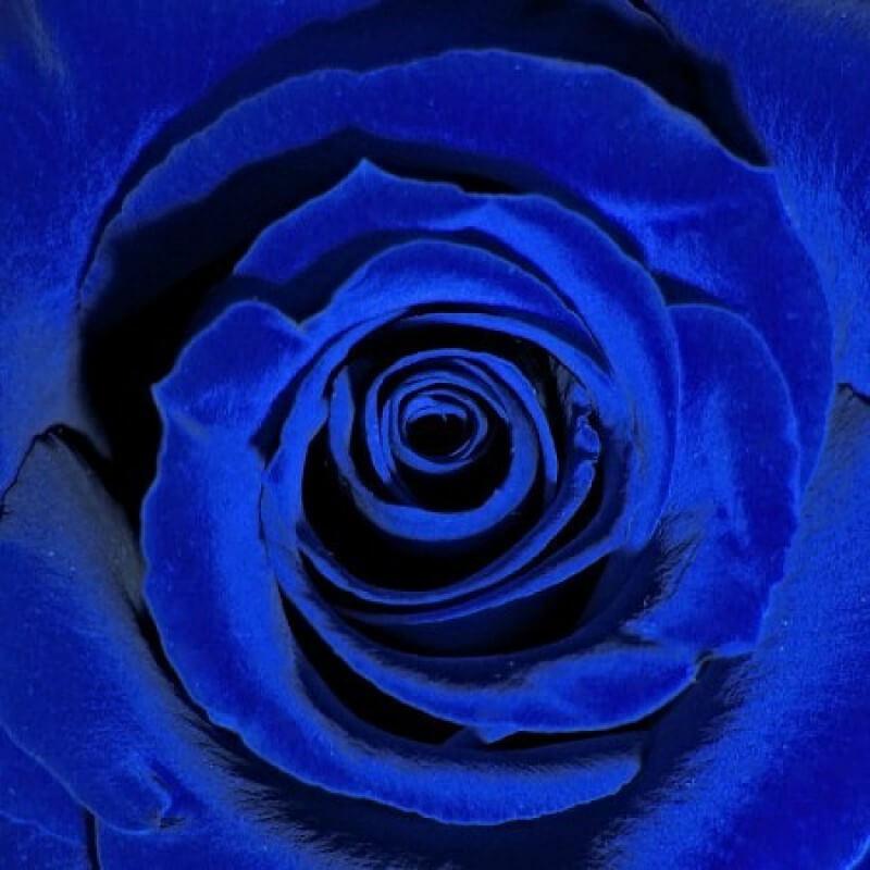 ультрамариновая роза